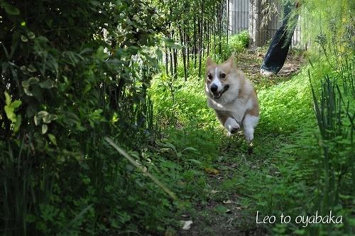 走れ走れレオちゃんマン2.jpg